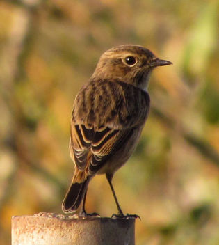 European Stonechat (female) - бесплатный image #307007