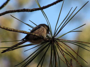Long-Tailed Tit - image #307087 gratis