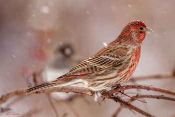 House Finch with Junco - image gratuit #307117