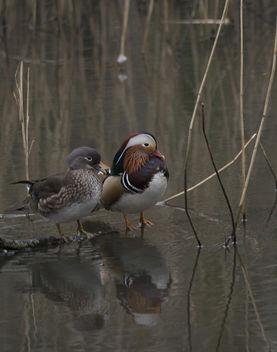 Mandarin Ducks - image gratuit #307157