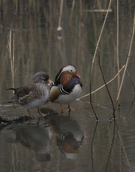 Mandarin Ducks - Kostenloses image #307157