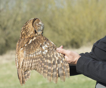 Tawny Owl - image gratuit #307207