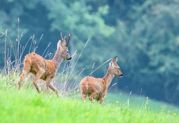 Roe Deer, Cotswolds, Gloucestershire - Free image #307247