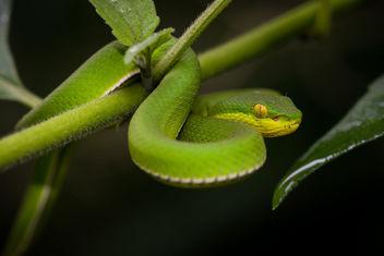 Trimeresurus albolabris, white-lipped pit viper (juvenile/female) - Kaeng Krachan National Park - Free image #307257