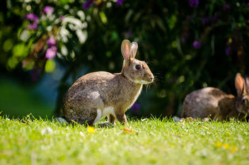 European Rabbit - image #307307 gratis
