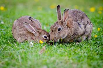 European rabbits - Free image #307347
