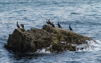 Great Cormorants - image gratuit #307387