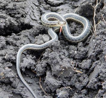Plains Garter Snake - бесплатный image #307447