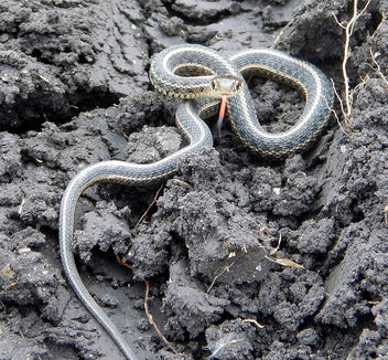 Plains Garter Snake - Free image #307447