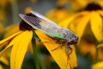 Noisy Cicada, Male - Kostenloses image #309007