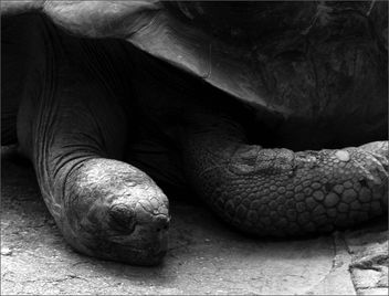 sleepy turtle - Free image #310407