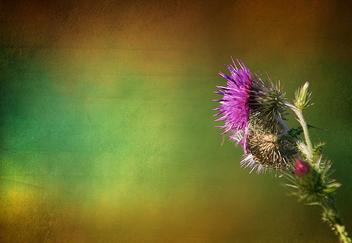 Rainbow Thistle - Free image #313487