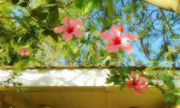 Pink Hibiscus - Kostenloses image #318927