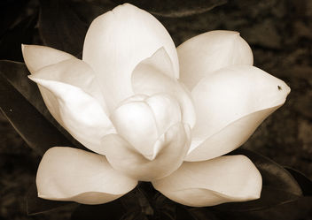 Magnolia with a small fly - Free image #323747