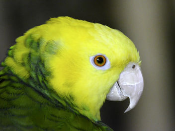 Yellow Headed Amazon Portrait - image #327257 gratis