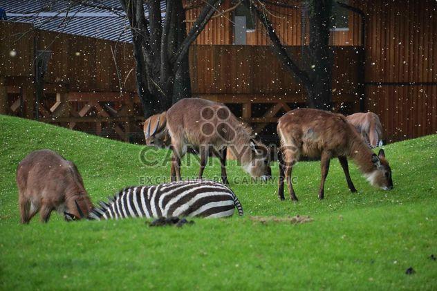 ciervos pastando en la hierba - image #328087 gratis