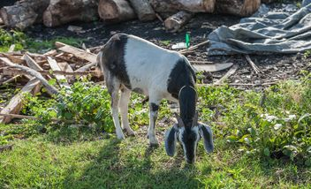 goats on a farm - image #328107 gratis