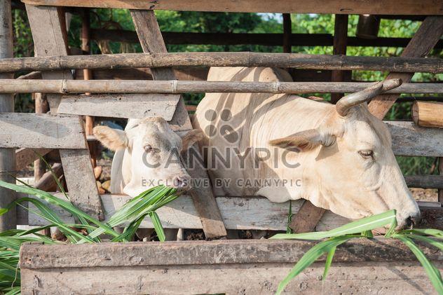 Коров на ферме - бесплатный image #328117
