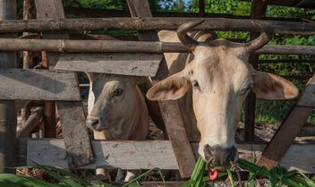 Cows on a farm - image #328127 gratis