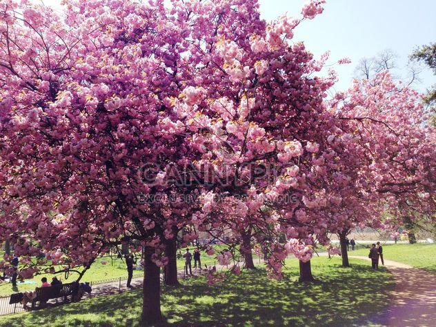 Розовый цветок деревья в Гайд-парке - бесплатный image #328407