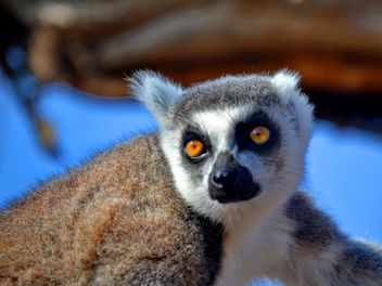 Lemur close up - image gratuit #328477