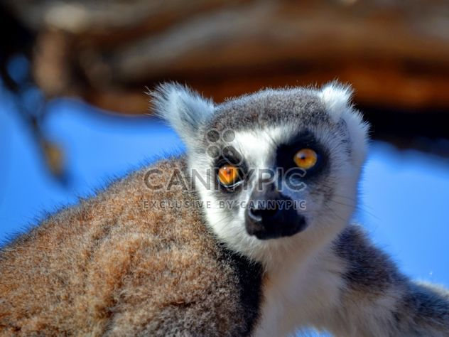 Lemur close up - Free image #328477