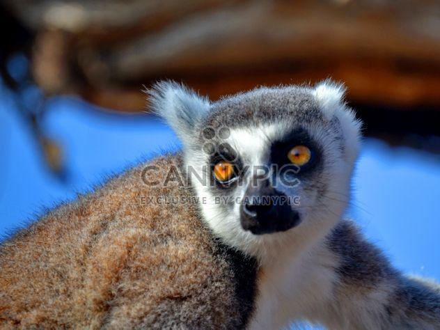 Lemur close up - image gratuit(e) #328477