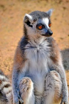 Lemur close up - image gratuit #328497