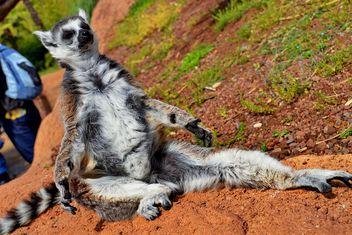 lemur sunbathing - image gratuit(e) #328517