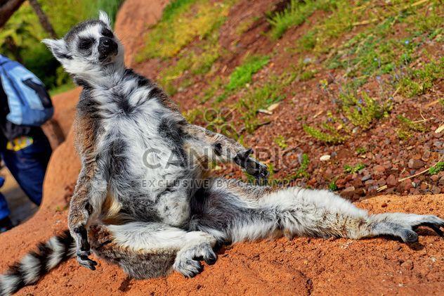 lemur sunbathing - image #328517 gratis