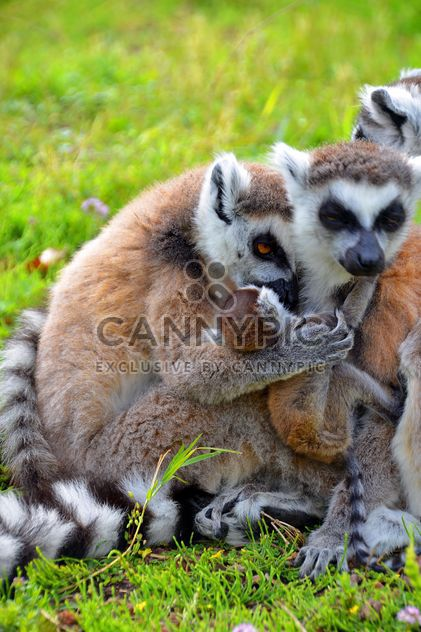 family of lemurs - image #328537 gratis