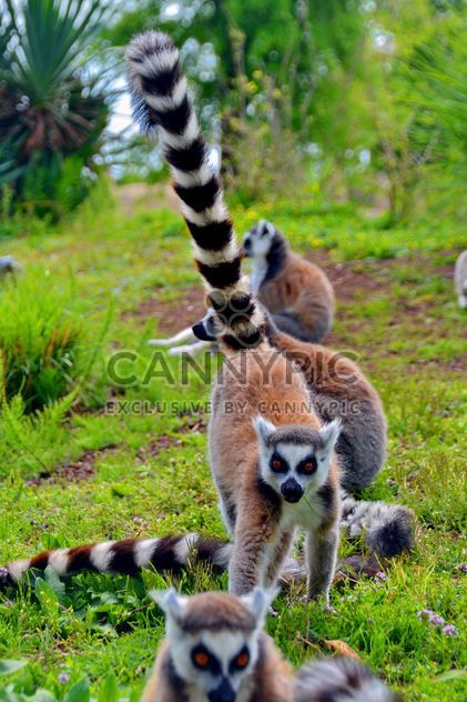 Lemurs close up - Free image #328557