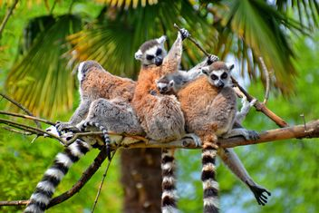 family of lemurs - image gratuit #328567