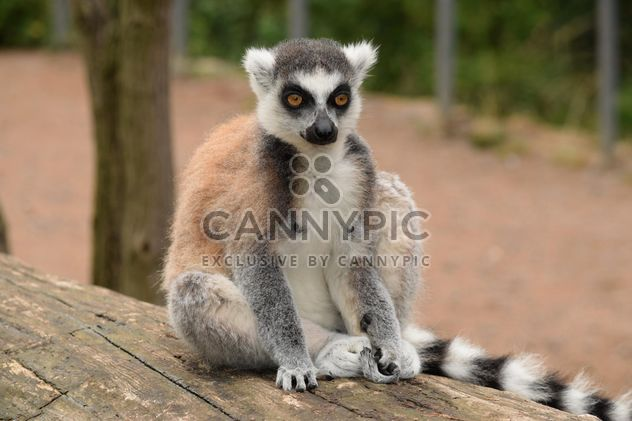 Lemur close up - Free image #328577