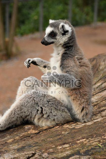 Lemur close up - image #328587 gratis