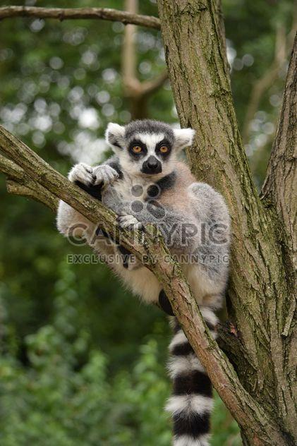 Lemur close up - image gratuit #328597