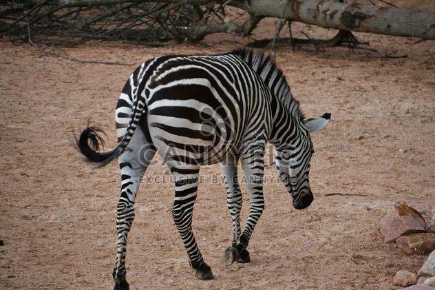 зебры на лужайке парка - бесплатный image #329027
