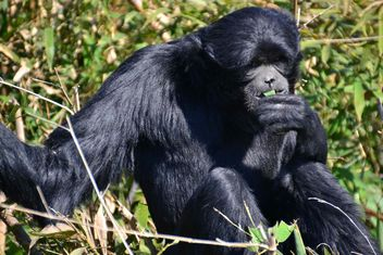 Siamang gibbon female - бесплатный image #330227