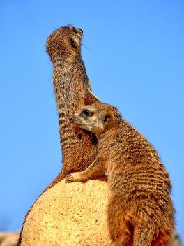 Meerkats in park - image #330237 gratis