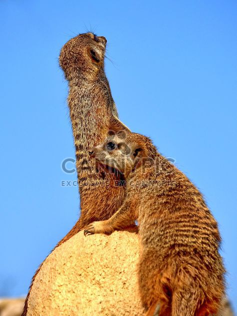 Meerkats in park - бесплатный image #330237