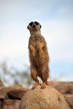 Meerkats in park - image #330257 gratis