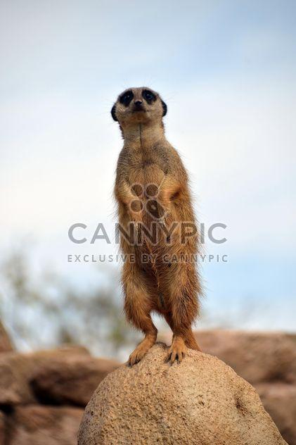 Meerkats in park - Free image #330257