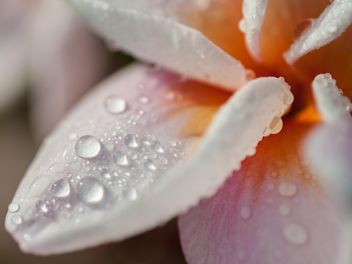 Close up of pink Plumeria - image #330857 gratis