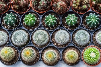 Potted cactuses - Free image #330877