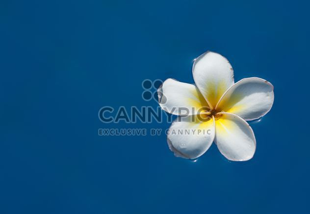 Close-up de Plumeria flor - Free image #330887