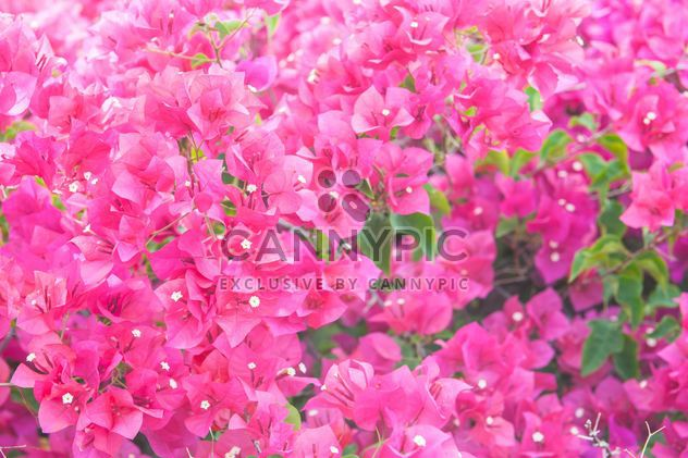 Bright pink bougainvillea bush - Free image #330897