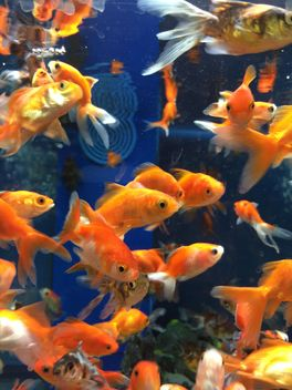 Gold fish in aquarium - image gratuit #331267