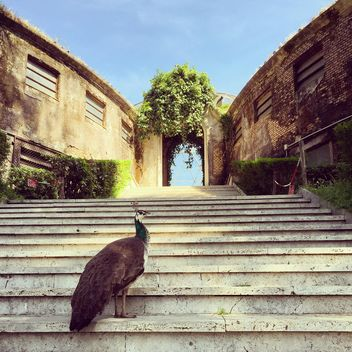 Beautiful peacock on stairs - бесплатный image #332347