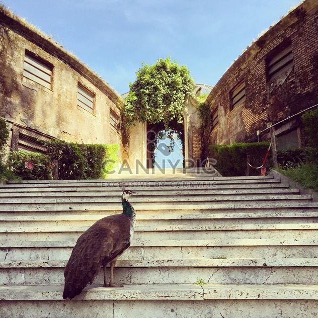 Красивый павлин на лестнице - бесплатный image #332347