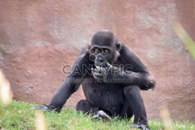 Gorilla rests in park - бесплатный image #333157